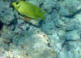 Coral Rabbitfish (30)
