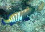 Peacock Rock Cod (35)