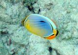 Oval Butterflyfish (14)