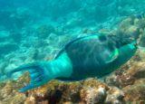 Bridled Parrotfish (45)