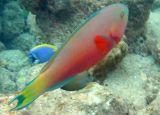 Roundhead Parrotfish (70)