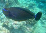 Vlaming's Unicornfish (40)