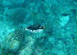 Clown Triggerfish (35)