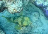 Blotched Porcupinefish (45)