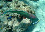 (Foreground:) Bicolour Parrotfish (80)