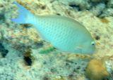 Longnose Parrotfish (50)