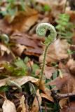 Polystichum acrostichoides fiddlehead.jpg