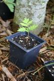 Botrychium virginianum plant.jpg