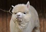 Baby Alpaca 1 year old