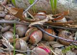 Leftover acorns