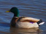 Duck 3-09.jpg