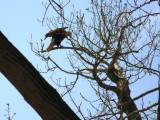 Bald Eagles on the Illinois River