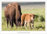 Bison Mother & Baby
