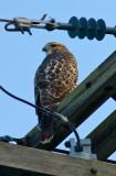 Redtail Hawk?