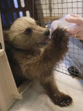 Orphan brown bear cub