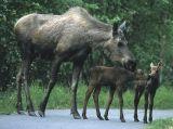 New moose calves