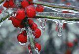 Berries on Ice