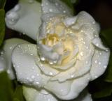 White Drops