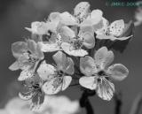 black and white tree flower