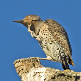Female Northern Flicker scratches an itch