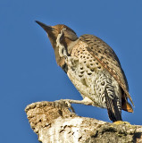 Female Northern Flicker demonstrates the importance of a nictitating membrane