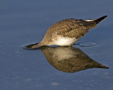 Greater Yellowlegs looking for a meal