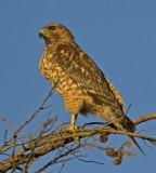 Juvenile Red-shouldered Hawk