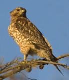 Juvenile Red-shouldered Hawk at last light