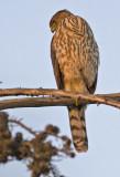 Juvenile Cooper's Hawk - Still hunting at last light of the day