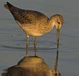 Greater Yellowlegs - Looking for dinner