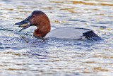Canvasback swallowing a clam