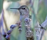 Anna's Hummingbird on her nest