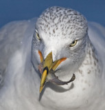 Ring-billed Gull grabs a fish in the shallows