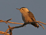 White-breasted Nuthatch greets the dawn at Yaqi Point