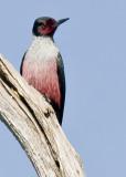 Lewis' Woodpecker (Melanerpes lewis)