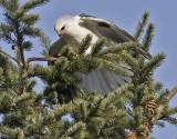 White-tailed Kite   #2 of 10   Mantling the rodent