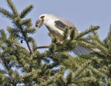 White-tailed Kite  #3 of 10     Starting to swallow