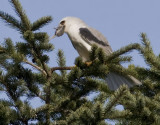 White-tailed Kite  #4 of 10