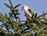 White-tailed Kite #5 of 10