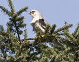 White-tailed Kite #6 of 10