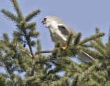 White-tailed Kite   #7 of 10 Almost gone