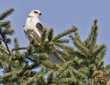 White-tailed Kite #9 of 10