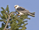 White-tailed Kite #10 of 10