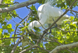 Great Egret at early stages of nest building(Stick #4)