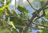 Great Egret - Close crop of adjusting stick #4