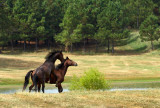 Horses Playing2