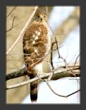 Hawk_3.jpg