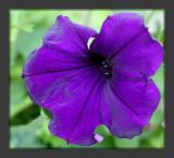 A Purple Petunia