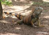 Iguana (Roatan)