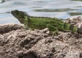 Iguana (Grand Cayman)